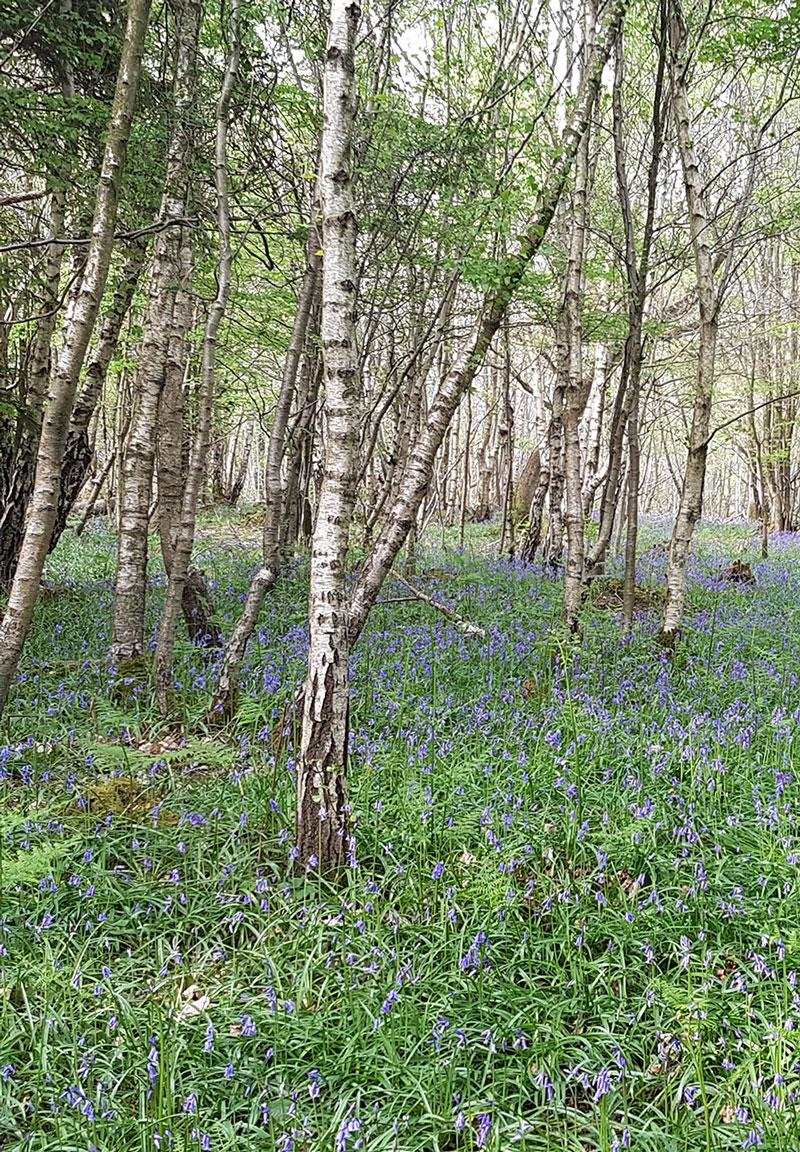 Bluebells Woodland Site