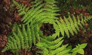 Circle of Ferns 1
