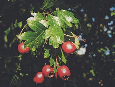 Autumn Hawthorn